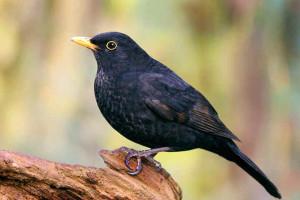 Blackbird-6