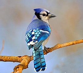 blauwe-vlaamse-gaai-18859886