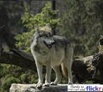 totem_wolf